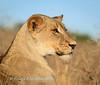Portrait of a beautiful lioness