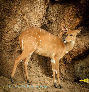 A bushbuck (Tragelaphus sylvaticus), fawn waits patiently for his mother to return. Mapungubwe National Park, South Africa
