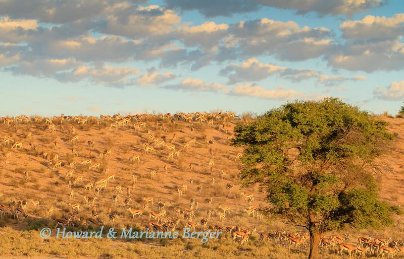 Springboks at sunrise