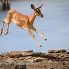 Leaping impala 1