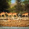 Saddle-billed Stork & Impala