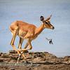 Leaping impala 3