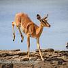 Leaping impala 2