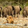 Line of elephants & a lion