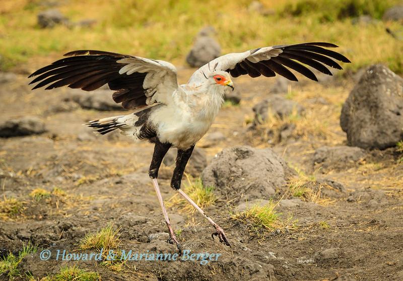 Secretary bird landing
