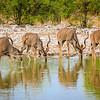 Kudu bulls drink at Kalkheuvel