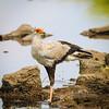 Secretary bird pauses