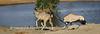 Gemsbok charges Kudu 1