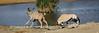 Gemsbok charges Kudu 2