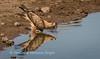 Thirsty tawny eagle