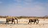 Elephants (Loxodonta africana) leave  Klippan waterhole, Olifantsrus, Etosha National Park,Namibia,