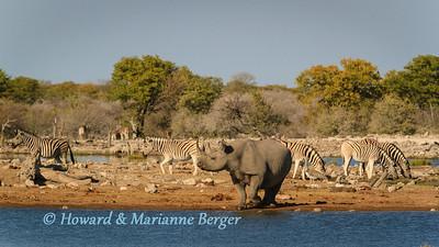 Rhino & Zebra gathering