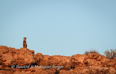 Solitary suricate