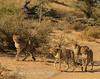 Cheetah  cubs, follow mom 3