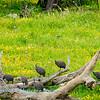 Flock of Guinea fowl