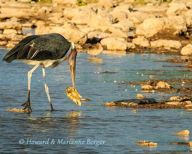 Feeding storks at sunset (1)