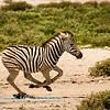 Zebra foal at full stretch 1