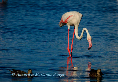 Feeding flamingo