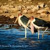 Marabou storks 1