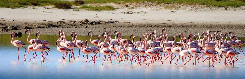 Filter feeding flamingoes