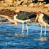 Marabou storks 2