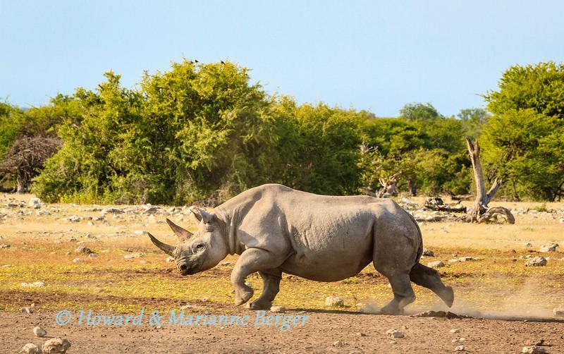 Cantankerous rhino 4