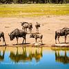 Wildebeest herd drinks