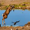Kudu high jump 2