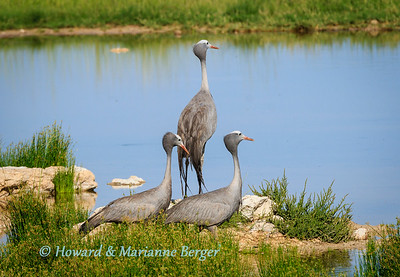 Trio of Blue cranes