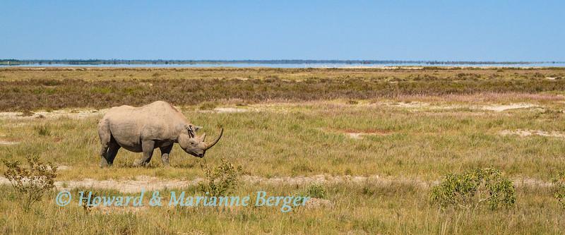 Rhino on the edge of the pan