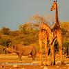 Jousting giraffe with onlooker