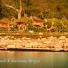 Prancing impala