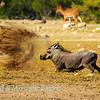 Warthog digs deep
