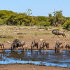 Wildebeest at Koinachas