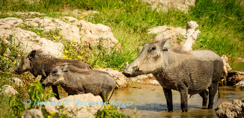 Warthog (Phacochoerus africanus) mother & piglets drink & bathe at Klein Okevi Waterhole, Etosha National Park, Namibia,