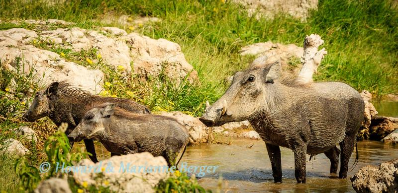 Warthog (Phacochoerus africanus) mother & piglets drink & bathe at Klein Okevi Waterhole, Etosha National Park, Namibia,