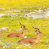 Resting rams