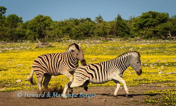 Zebra at Chudop