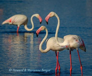 Flamingoes feeding