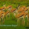 Soaked Springboks
