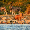 Burchell zebra (Equus quagga burchelli ), watch closely as Spotted Hyaena (crocuta crocuta ) comes to drink at sunset drink, Klein Namutoni Waterhole,  Etosha National Park, Namibia.