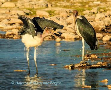 Feeding storks at sunset (2)