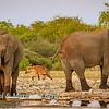 Hyena & elephants