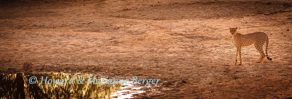 Thirsty cheetah approaches Sammenvloeing