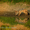 Jackal pup reflection 1