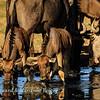 Blue wildebeest drinking 4