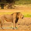 Lions at Kwang at sunrise 8