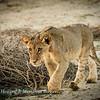 As the sun rises a beautiful lion  (Panthera leo), cub follows sibling & mother at Kij Kij waterhole, Kgalagadi transfrontier parkSouth Africa.