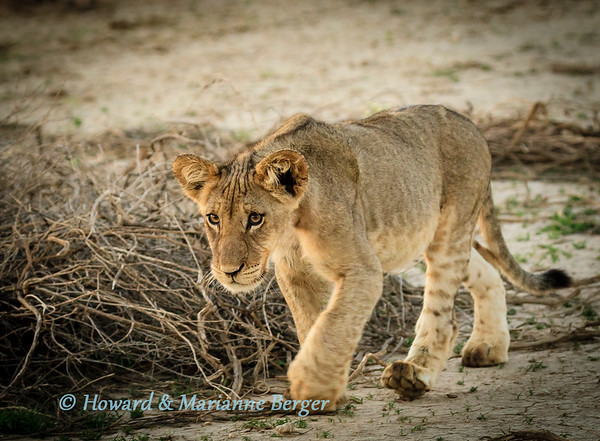 As the sun rises a beautiful lion  (Panthera leo), cub follows sibling & mother at Kij Kij waterhole, Kgalagadi transfrontier parkSouth Africa.