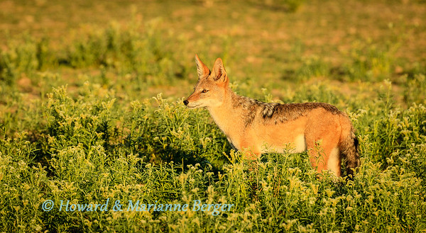 Jackal in the morning 1